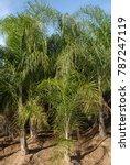palm trees  costa blanca  spain   Shutterstock . vector #787247119