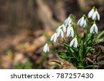 snowdrop flowers in spring...   Shutterstock . vector #787257430