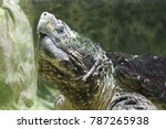 Small photo of Alligator snapping turtle portrait, close up of alligator snapping turtle