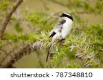 a grey backed fiscal in africa... | Shutterstock . vector #787348810