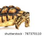 testudo sulcata   centrochelys... | Shutterstock . vector #787370110