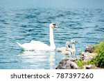 swan with chicks | Shutterstock . vector #787397260