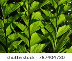 Backlit close up of beautiful green leaves of a Fishtail Palm, (Caryota mitis), could be used for background.
