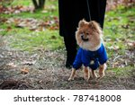 the wear  aggressive spitz dog... | Shutterstock . vector #787418008