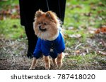 the wear  aggressive spitz dog... | Shutterstock . vector #787418020