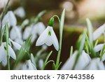 beautiful snowdrop flowers...   Shutterstock . vector #787443586