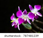Pink Orchids At Flowering With...