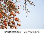 branch of blossoming bombax... | Shutterstock . vector #787496578