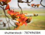 branch of blossoming bombax... | Shutterstock . vector #787496584