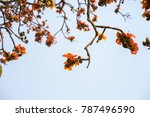 branch of blossoming bombax... | Shutterstock . vector #787496590