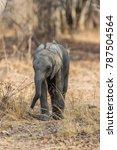 Small photo of African bush elephant calf, South Luangwa, Zambia