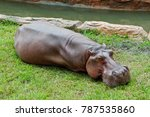 Happy Hippopotamus Sunbaths