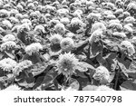 big smile sunflower are style...   Shutterstock . vector #787540798