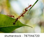 Red Ants Bridge Between Green...