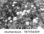 mexican aster  is style black... | Shutterstock . vector #787556509