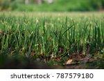 farming of onion  growing farm... | Shutterstock . vector #787579180