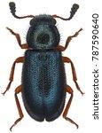 the red legged ham beetle... | Shutterstock . vector #787590640