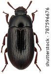 alphitobius diaperinus is a...   Shutterstock . vector #787596676