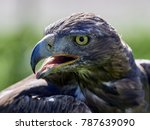 golden eagle  aquila chrysaetos ... | Shutterstock . vector #787639090