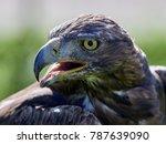golden eagle  aquila chrysaetos ... | Shutterstock . vector #787639090