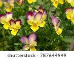 Cute Viola Flowers.