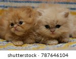 Stock photo beautiful lovely playful red and cream kittens 787646104