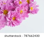cosmos double click rose bon... | Shutterstock . vector #787662430