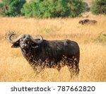 african buffalo or cape buffalo ... | Shutterstock . vector #787662820