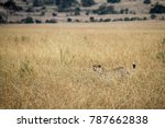 Small photo of Wild Tanzanian or East African Cheetah - Scientific name: Acinonyx jubatus raineyi syn. fearsoni - walking through tall grass, barely visible and well camouflaged.