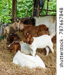 Small photo of Goats at the gardens of Buddhist temple Wat Kao Iti Sukato in Hua Hin, Thailand