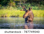 Bull Moose In Algonguin Park ...