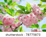 Pink Abloom Japanese Cherry ...