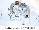 two large wolves in cold winter ... | Shutterstock . vector #787805440
