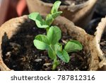 sprouted peas in organic soil... | Shutterstock . vector #787812316