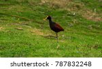 jacana  beautiful aquatic bird... | Shutterstock . vector #787832248