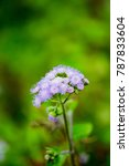 Small photo of Billy goat weed or Ageratum conyzoides in white color with green background, selective focus.
