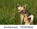 small brown chihuahua dog... | Shutterstock . vector #787859860