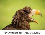 White Tailed Eagle Squawking...