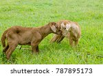 two new born lambs nuzzle each... | Shutterstock . vector #787895173