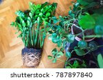 Small photo of plant transplant Zamioculcas denuded roots of house plants
