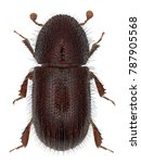 the date stone beetle or button ... | Shutterstock . vector #787905568