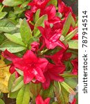 Small photo of Red Sundaville Mandevilla flowers also known als Rocktrumpets