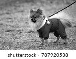 the wear  aggressive spitz dog... | Shutterstock . vector #787920538