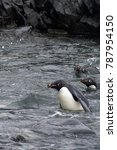 Small photo of Adelie penguin on a rocky beach in Antarctica