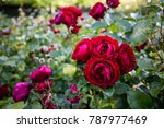 Stock photo red roses regents park london 787977469