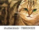 a cat  brown scottish fold ... | Shutterstock . vector #788024320