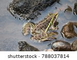 a frog in river water | Shutterstock . vector #788037814