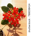 Small photo of Kalanchoe blossfeldianais known by the English common namesflaming Katy,Christmas kalanchoe,florist kalanchoeandMadagascar widow's-thrill. It is a long-flowering perennial succulent.