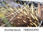 the fur and spines of a short... | Shutterstock . vector #788043490