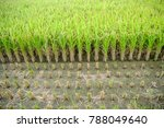 golden rice plant and straws on ...   Shutterstock . vector #788049640